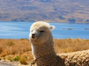 alpaca with lake background