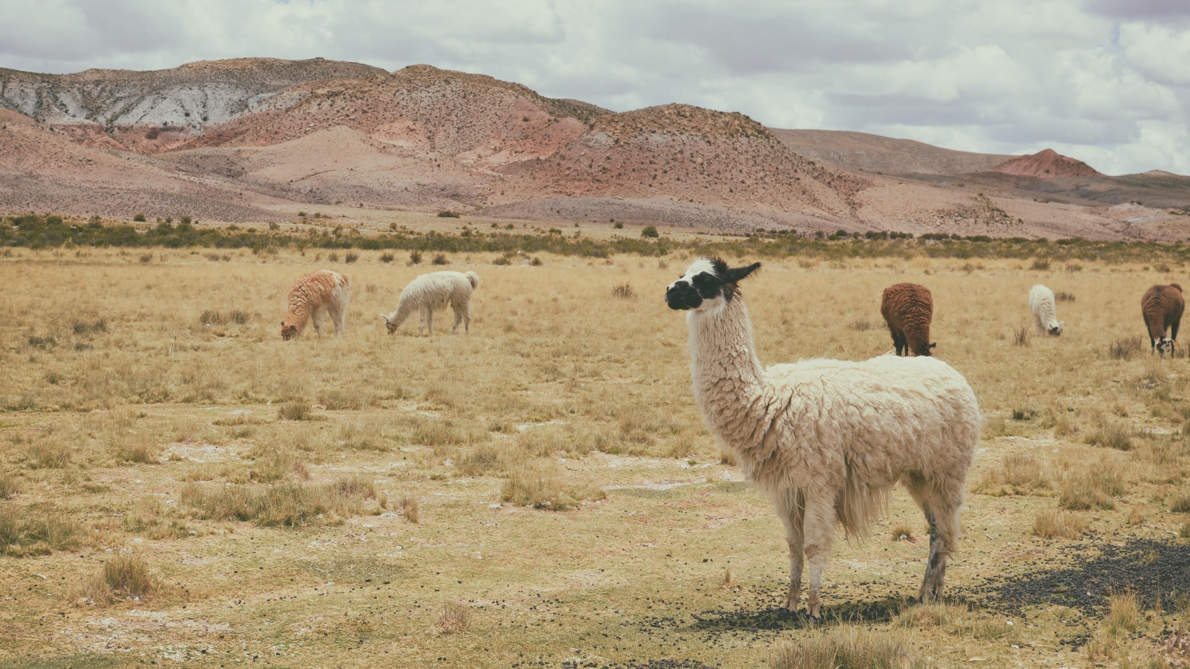 Alpacas herd Peru