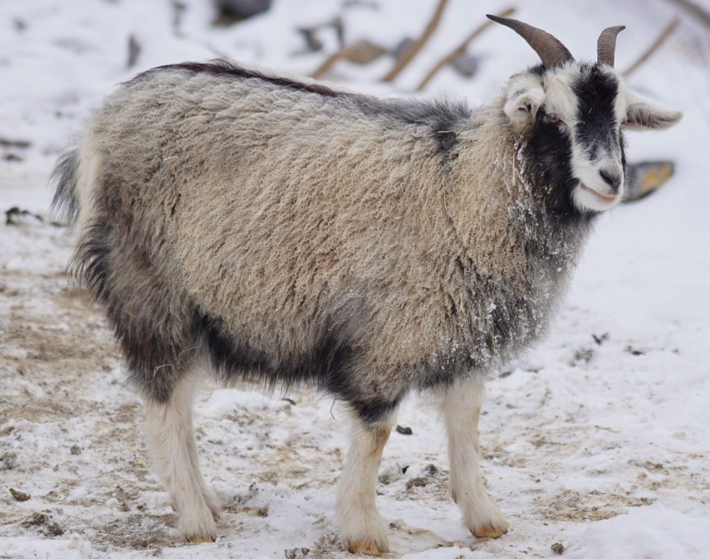 photograph of grey horned goat in the snow