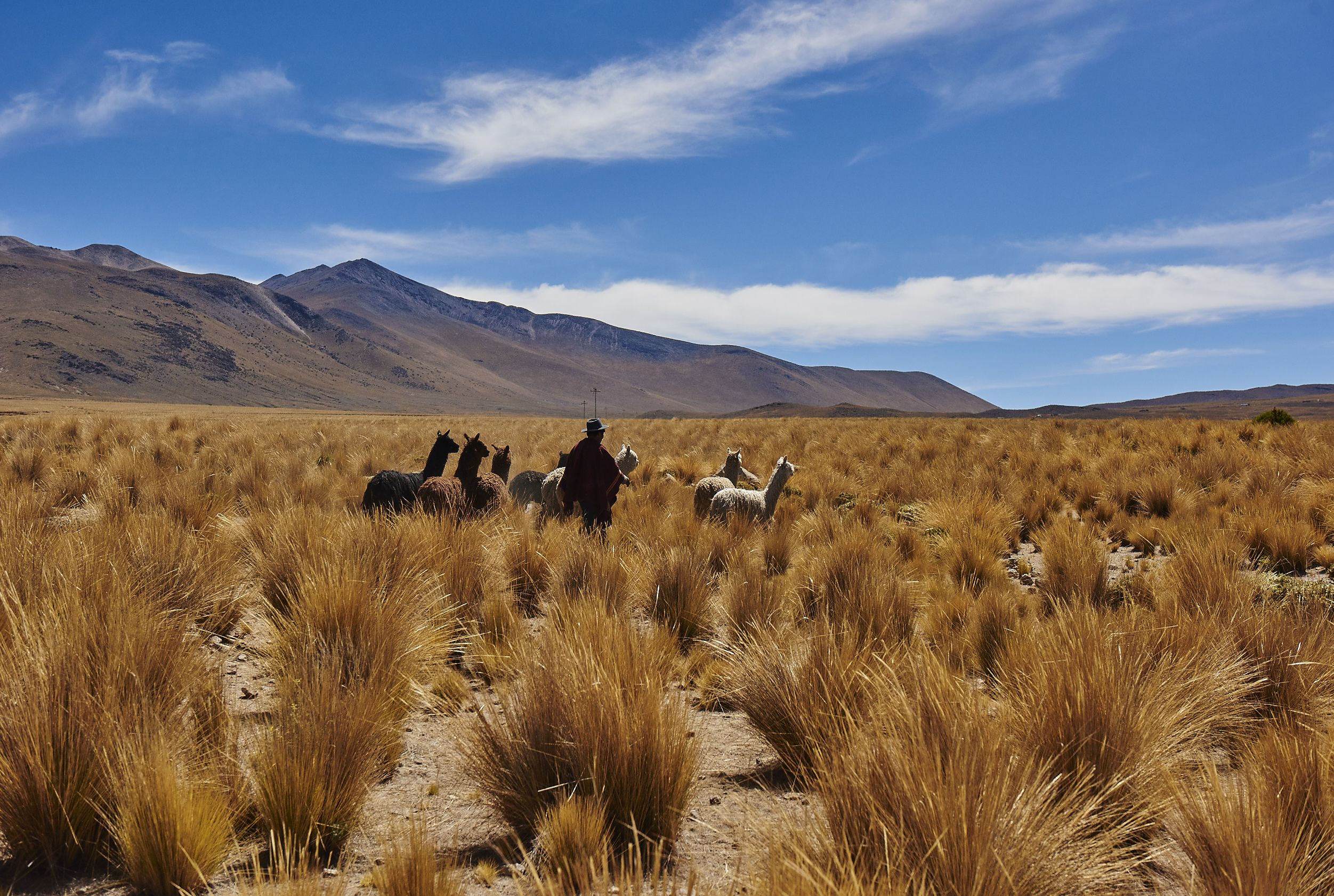 photo of man and heard of alpacas in grass land with mountains and blue sky in background