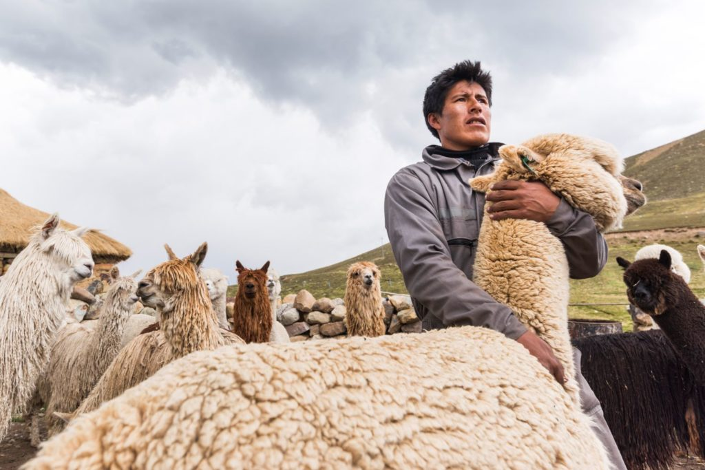 man hugging white alpaca in the foreground with herd and green hills behind him